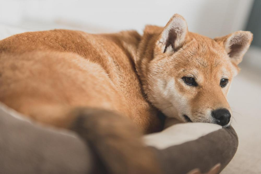 Shiba inu laying in a bed